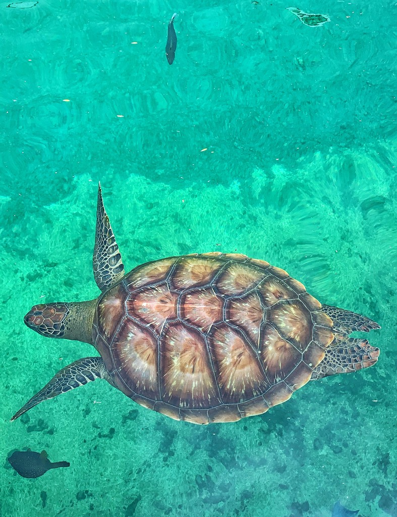 Sea turtle.  by cocobella