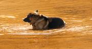 15th Jan 2020 - Mr Shepherd Enjoying the Cool River!