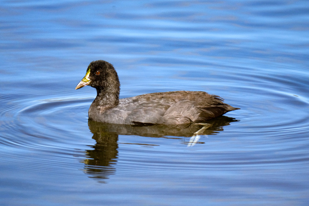 Young Australian coot by maureenpp
