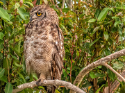 16th Jan 2020 - Spotted Eagle Owl