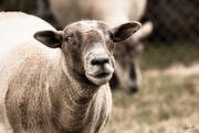 16th Jan 2020 - Pet Lamb - All Grown Up