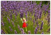 16th Jan 2020 - Pohutukawa Fairy amongst the Lavender ...