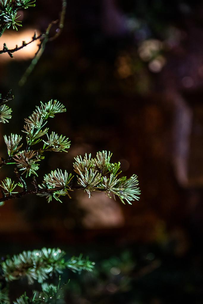 Pine Limb Saturated by the Rain by jnorthington