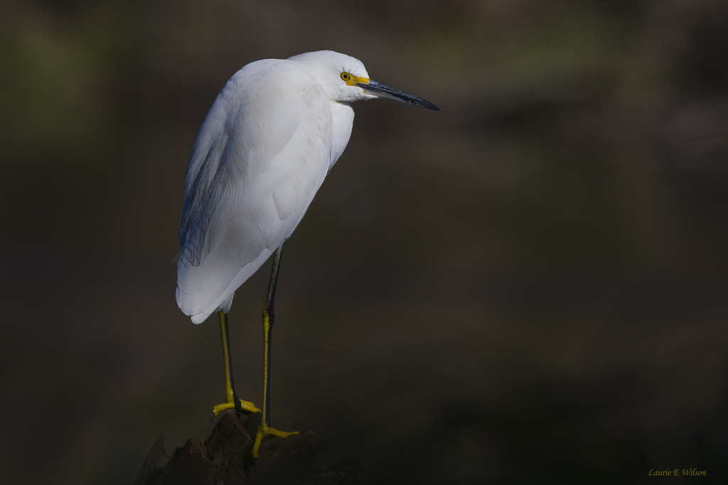 Snowy Egret  by laurieewilson