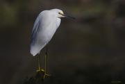 16th Jan 2020 - Snowy Egret