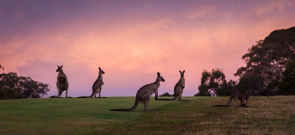 Day 16 - Kangaroos at dusk by sharandrah