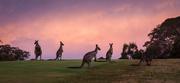 16th Jan 2020 - Day 16 - Kangaroos at dusk