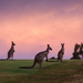 Day 16 - Kangaroos at dusk by sharandrah