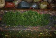 16th Jan 2020 - moss on wood