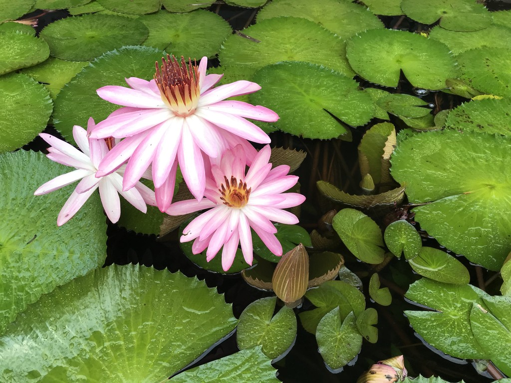 Wonderful Water Lilies by pdulis