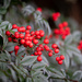 Nandina Berries by jnorthington