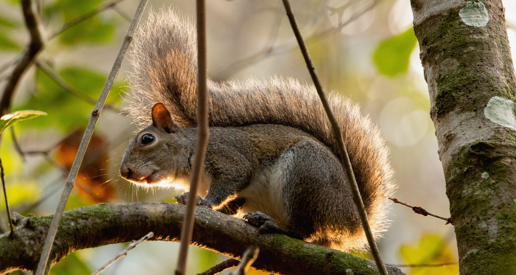 Mohawk Squirrel! by rickster549
