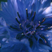 cornflower blue by kali66