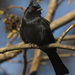 Phainopepla Male Ready For His Close Up