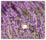 17th Jan 2020 - White Butterfly in the Lavender...
