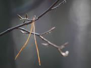 16th Jan 2020 - A pine needle
