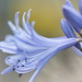 January Series - A month of Agapanthus (17)