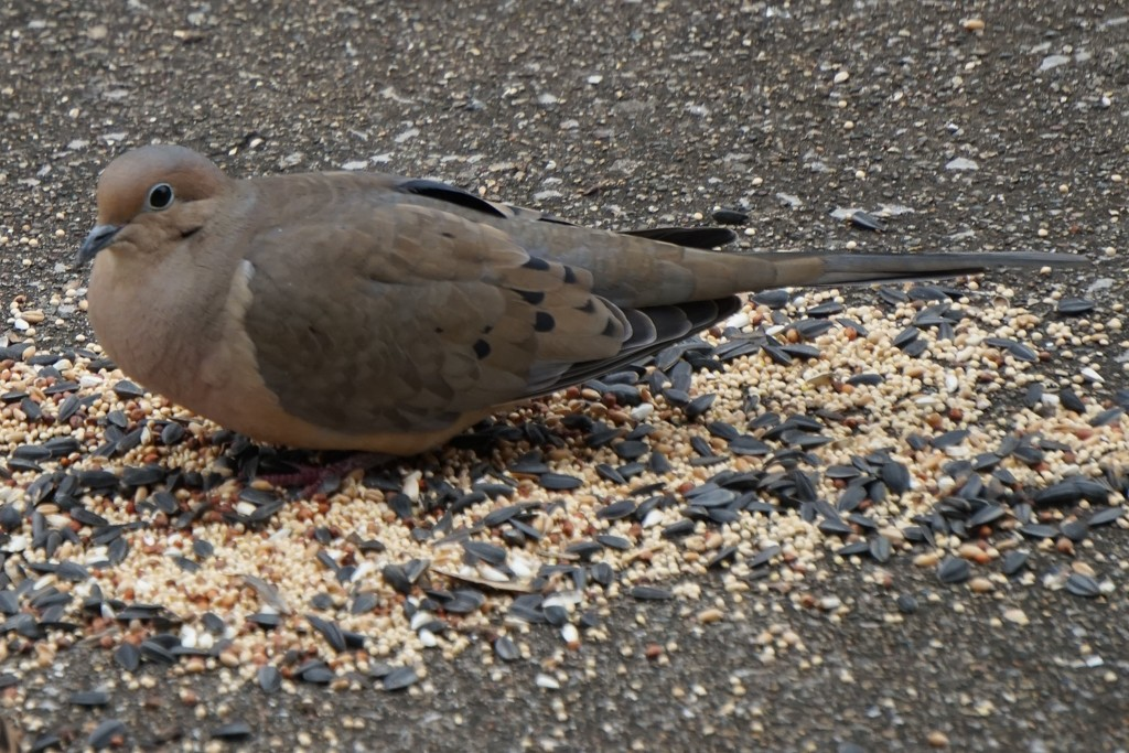 Mourning Dove by tunia