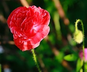 5th Jan 2020 - Poppies