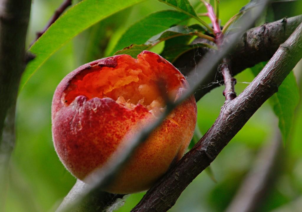The peaches are ripe by kiwinanna