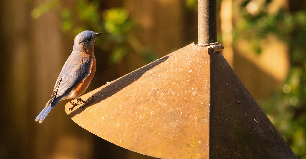 Bluebird Trying to Figure Out the Suet! by rickster549