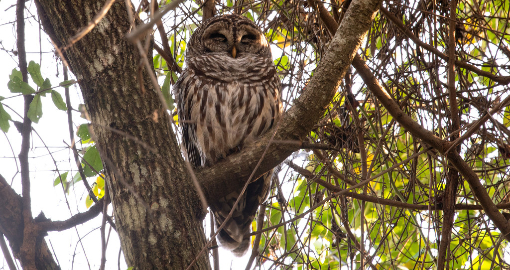 Barred Owl Taking a Snooze! by rickster549