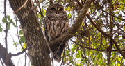 17th Jan 2020 - Barred Owl Taking a Snooze!