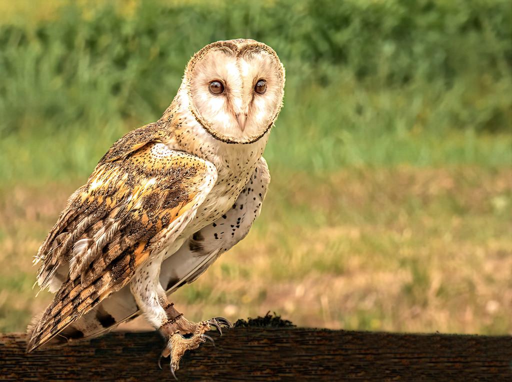 Southern Barn Owl  by ludwigsdiana