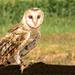 Southern Barn Owl
