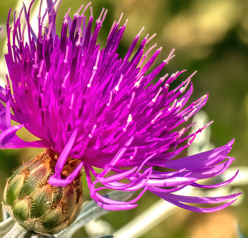 Knapweed  by ludwigsdiana