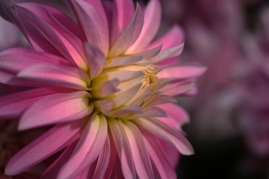Pink dahlia by maureenpp