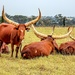 Ankole Cattle lazing around.