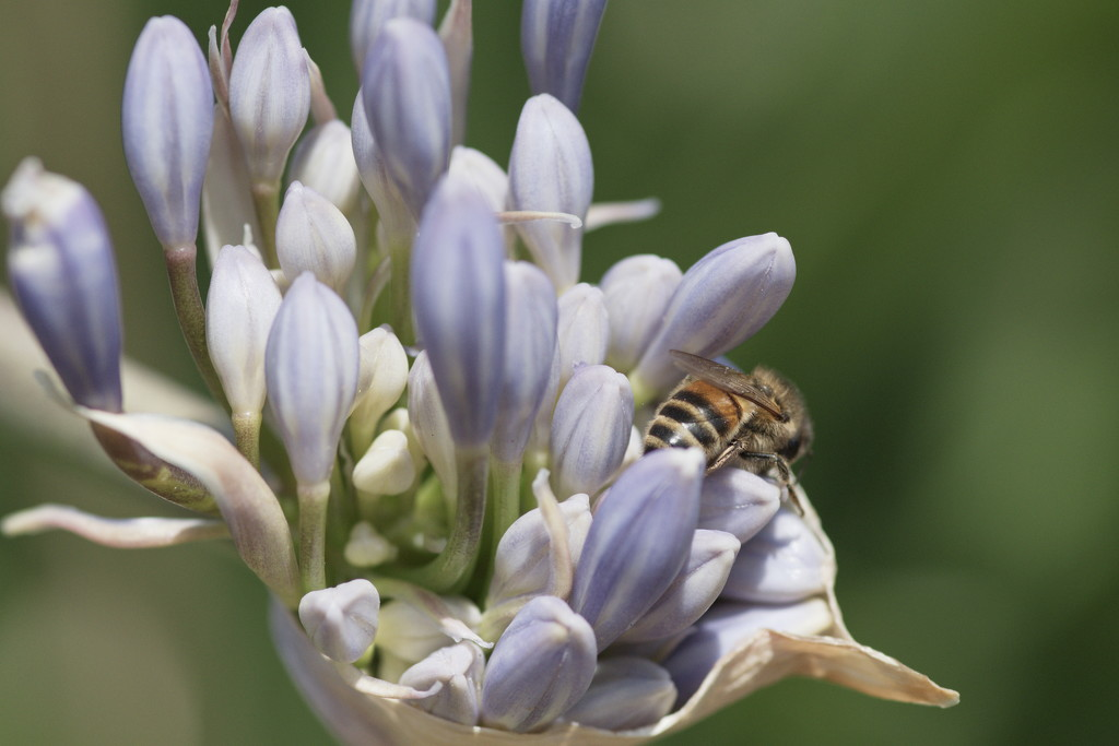 January Series - A month of Agapanthus (18) by kgolab