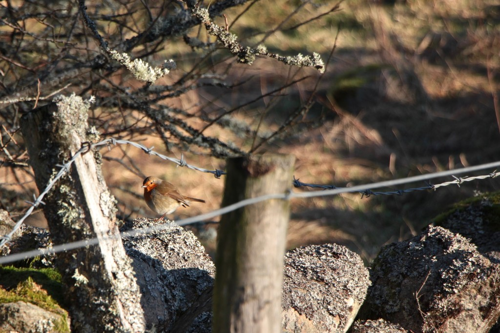 Little Robin Redbreast by jamibann