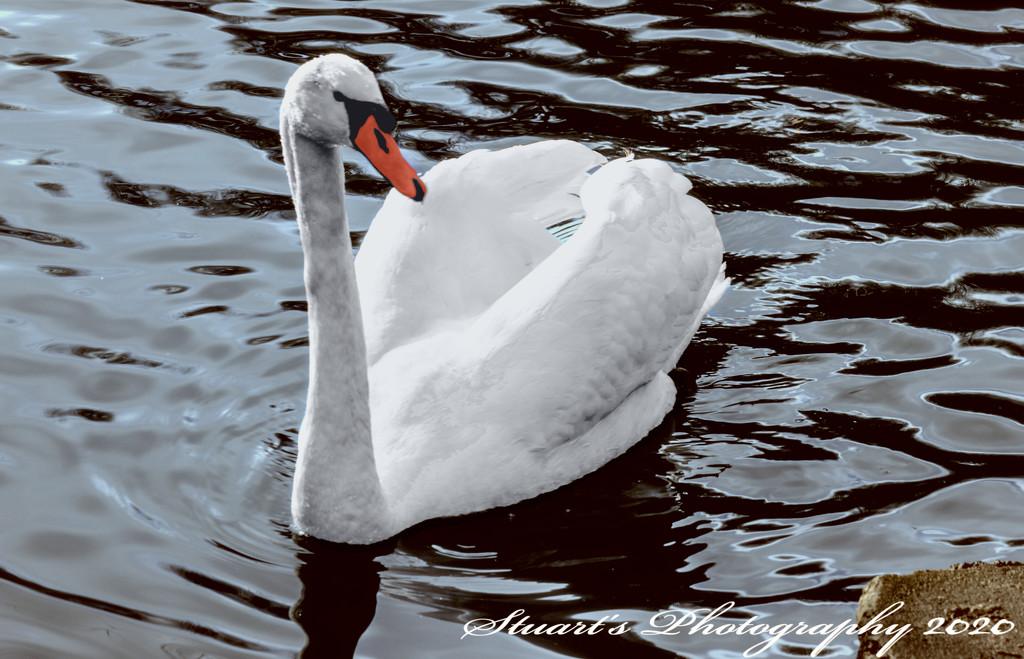 Swan lake by stuart46