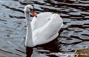 18th Jan 2020 - Swan lake