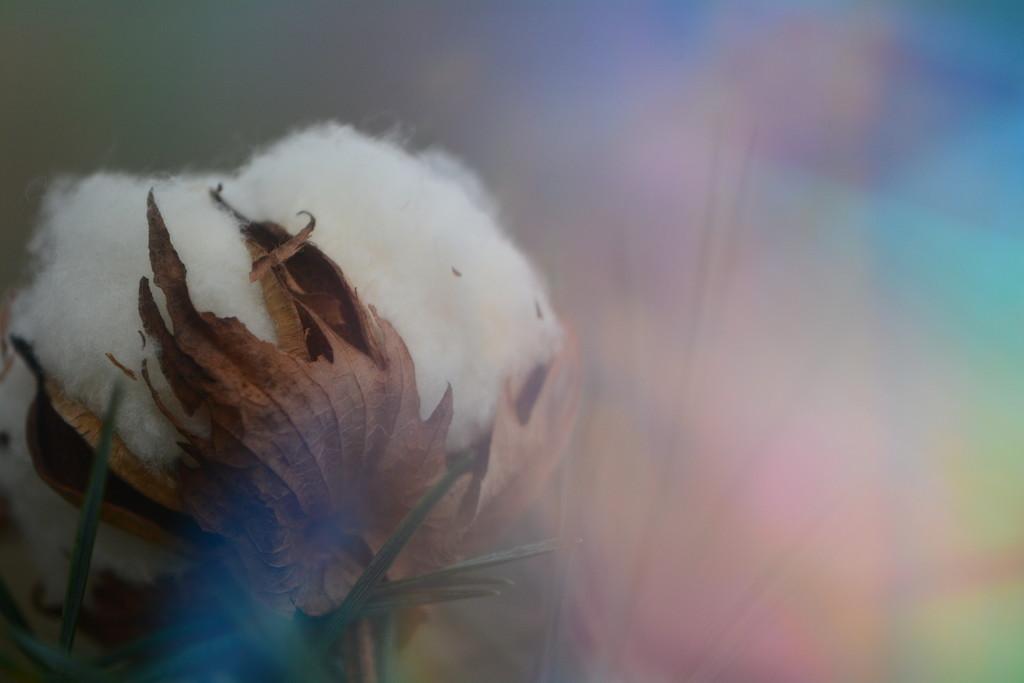 Dried cotton flower....... by ziggy77