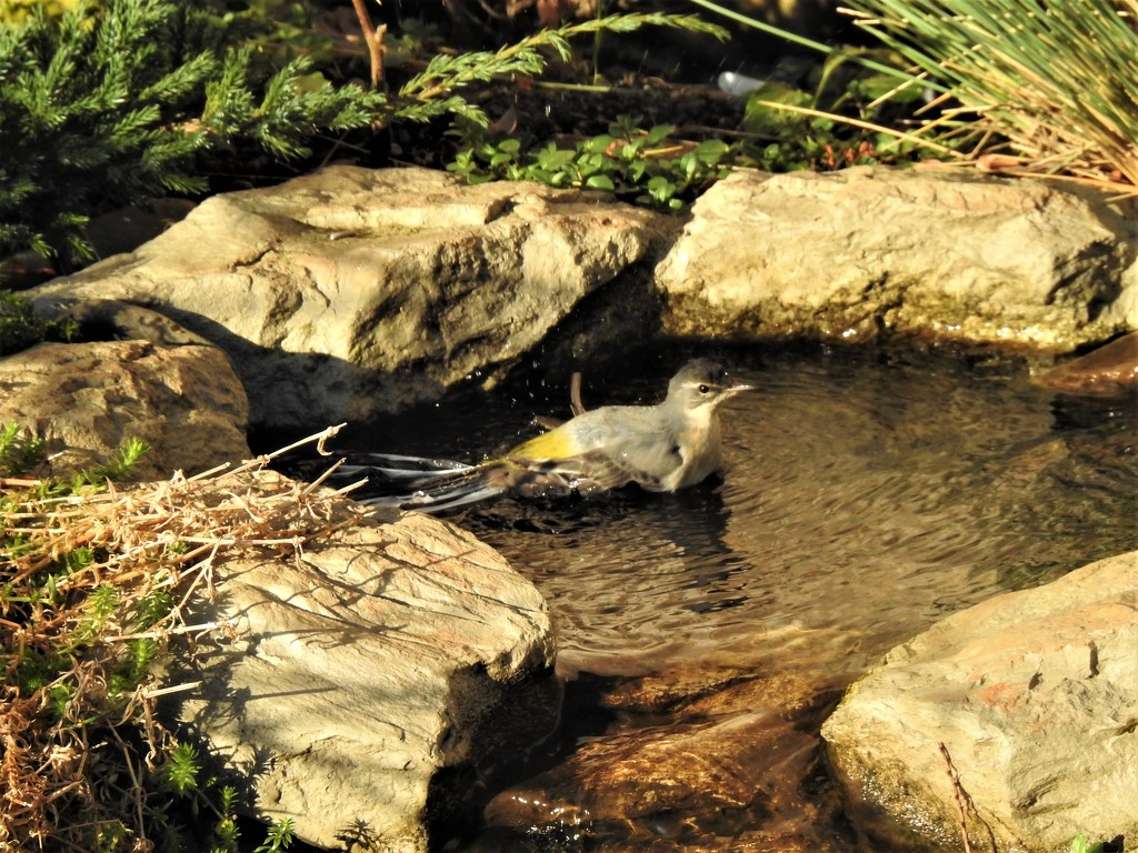 Grey Wagtail Taking a Bath by susiemc