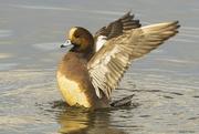 18th Jan 2020 - Eurasian Wigeon Male Hybrid Duck Bathing
