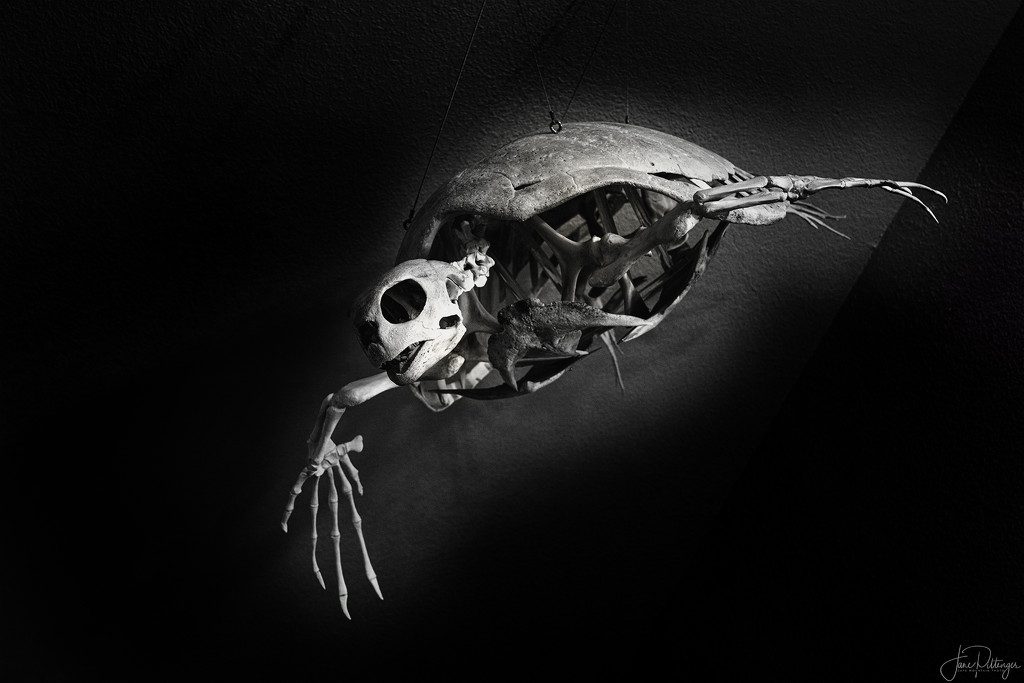 Sea Turtle Skeleton B and W by jgpittenger