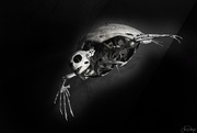 18th Jan 2020 - Sea Turtle Skeleton B and W