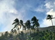 19th Jan 2020 - Palm trees in the wind.