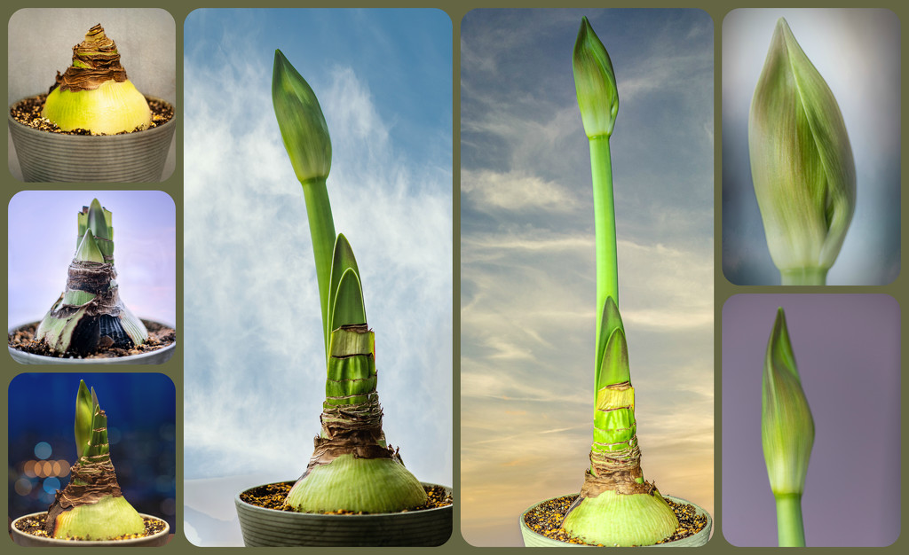 Amaryllis 1 is Ready to Bloom! by taffy