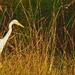 Egret hunting.