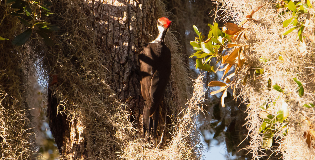 Pileated Woodpecker Among the Moss! by rickster549