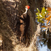 Pileated Woodpecker Among the Moss!