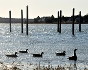 18th Jan 2020 - Geese and pilings