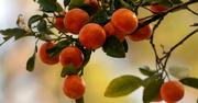 18th Jan 2020 - Kumquats Up Close!