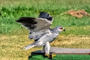 19th Jan 2020 - Black shouldered Kite