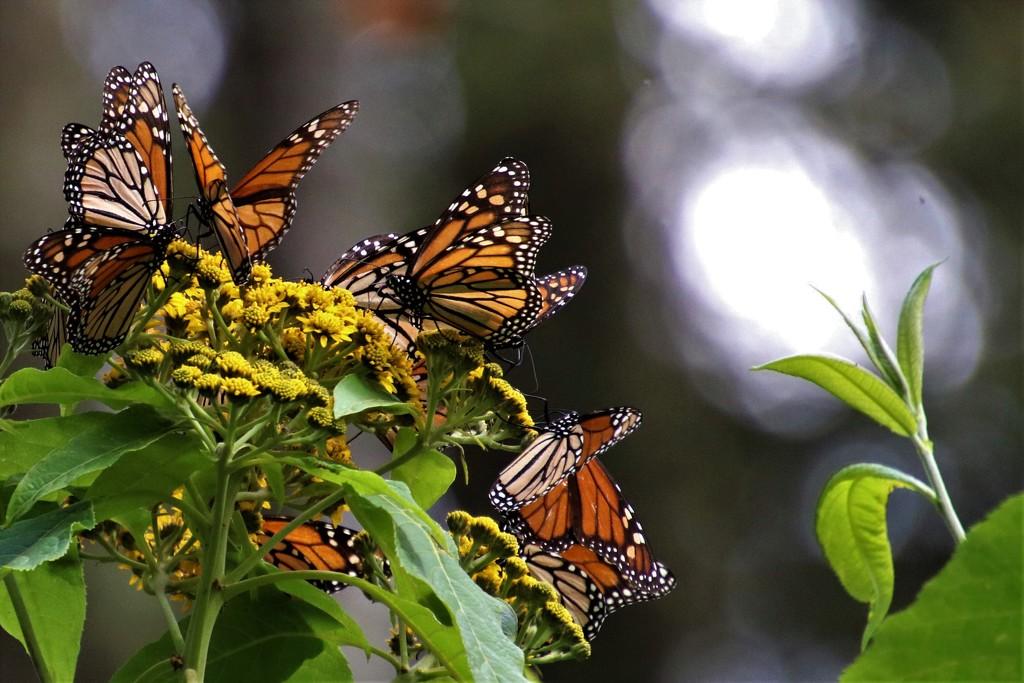 Monarch Butterflies    by sstcowan